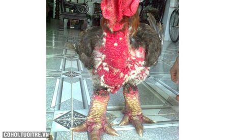 Cung cấp gà Đông Tảo giống thuần chủng Hưng Yên