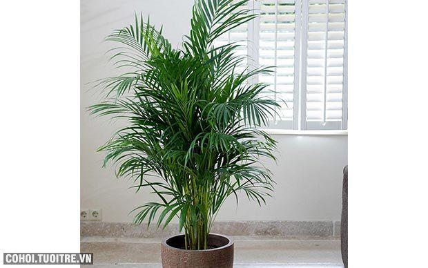 Cây xanh trồng trong nhà, nên trồng cây gì, ở đâu