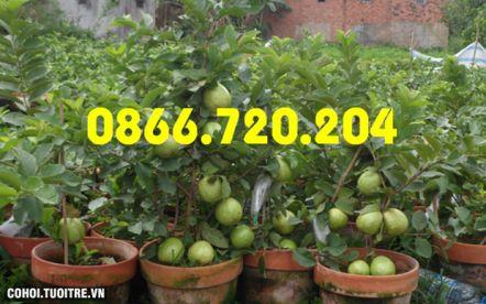 Giảm 50% giá bán ổi siêu trái cho khách hàng quen