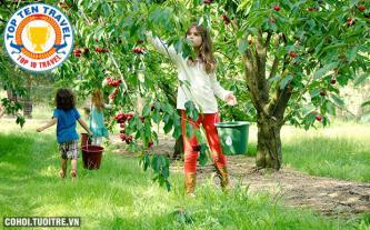 Tour Nhật hái cherry tại vườn giá rẻ
