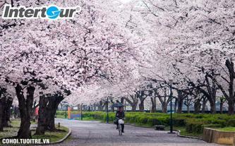 Những mùa hoa nổi tiếng ở Nhật - Hàn - Đài Loan