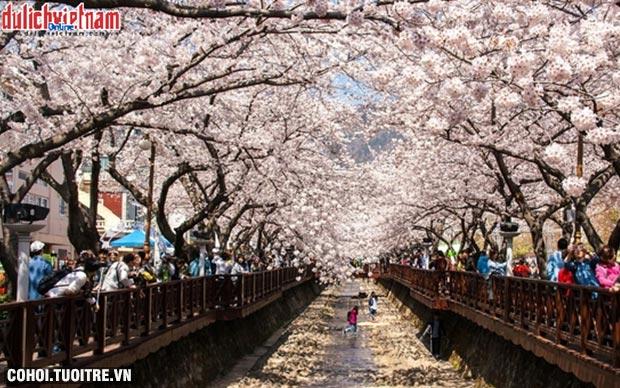 Gợi ý những địa điểm du xuân ngắm hoa anh đào đẹp